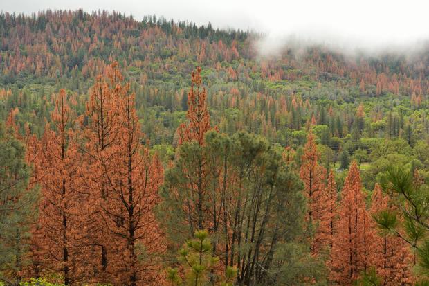 Pine Beetle Forest Damage