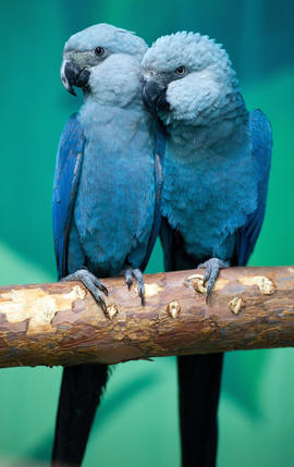 Spix's macaws Felicitas (L) and Frieda s