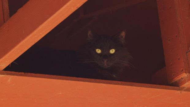 lanai-cat-sanctuary-bashful-620.jpg