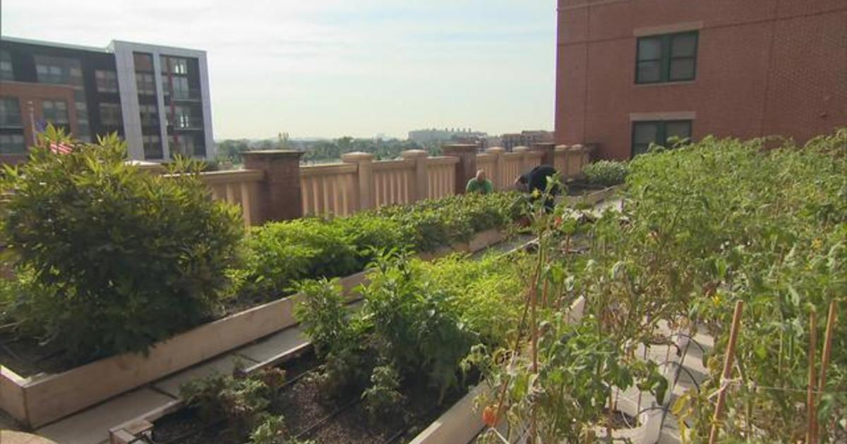 Rooftop Roots Installs Vegetable Gardens Throughout Dc Cbs News