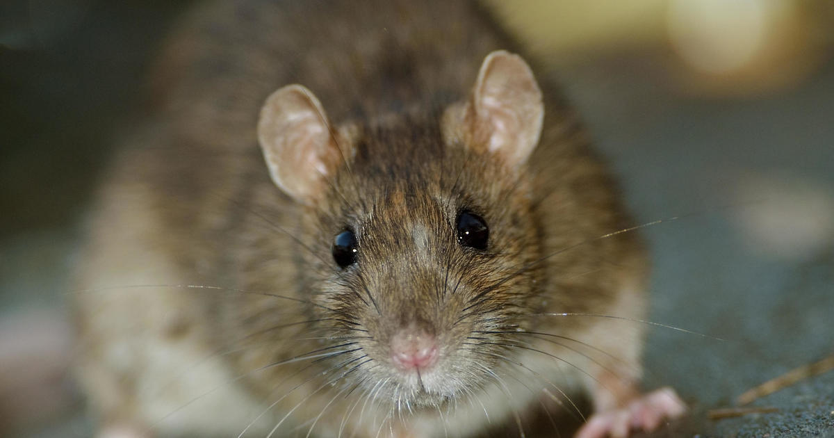 Man diagnosed with world's first human case of rat disease hepatitis E