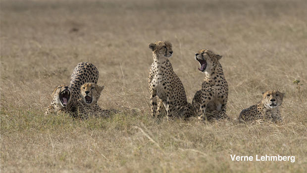 cheetahs-yawn-before-hunt-verne-lehmberg-620.jpg