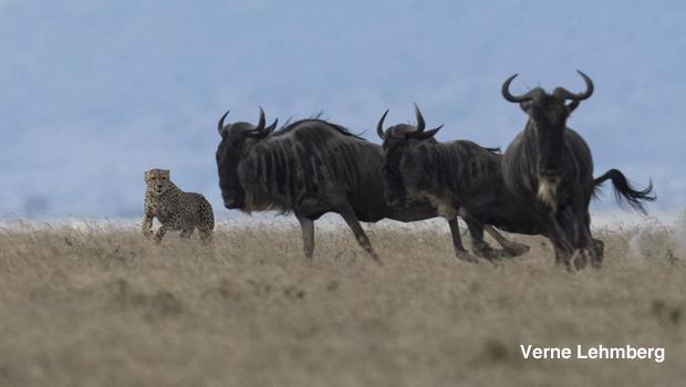 cheetah-chasing-wildebeest-verne-lehmberg-620.jpg