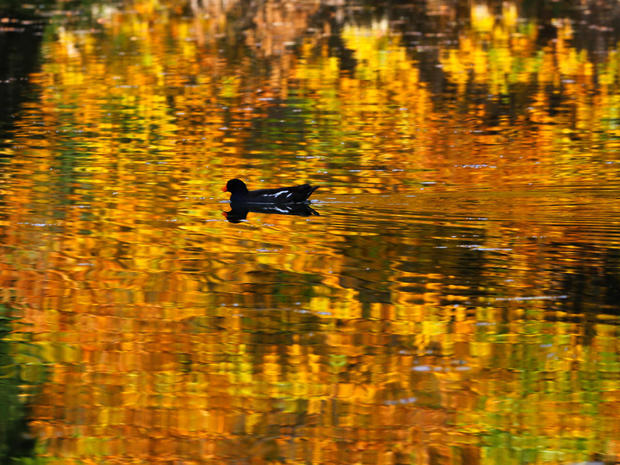 A duck swims in a pond during warm autumn weather at Skopje city park