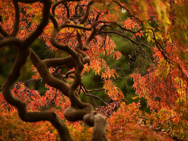 Autumn colours are seen on foliage at the Botanic gardens in Dublin
