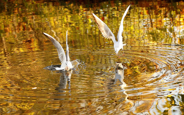 Autumn colours are reflected in the water as gulls dive for food on the Grand Union Canal in Loughborough