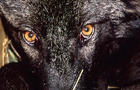 wolf-m21-yellowstone-national-park-service-promo.jpg