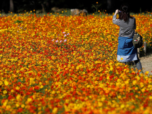 A woman takes a picture in a field of Cosmos sulphureus at the Hitachi Seaside Park in Hitachinaka