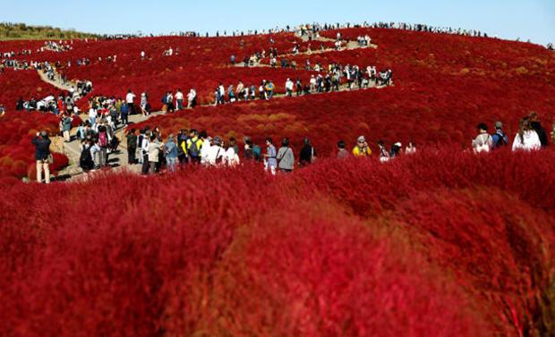 People walk in a field of fireweed, or Kochia scoparia, at the Hitachi Seaside Park in Hitachinaka