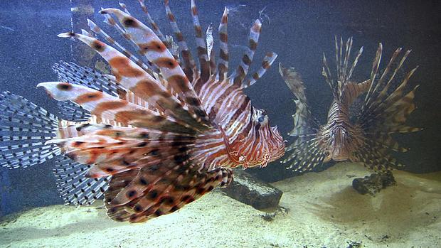 Lionfish Florida Ban