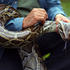 Hunting Excursions Latest In Effort To Curb Evasive Snake Population
