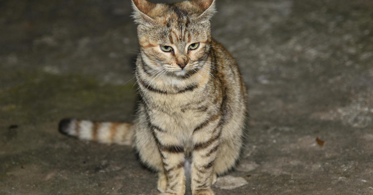 Killer cats: The invasive species in your backyard - CBS News