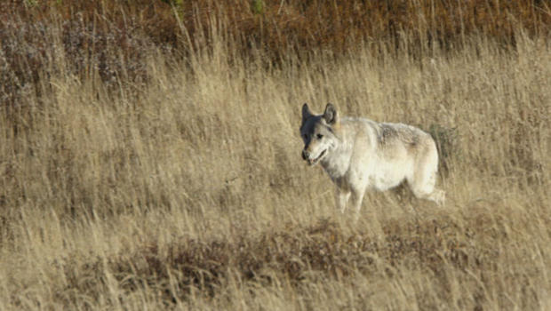 wolves-in-yellowstone-judy-lehmberg-620.jpg