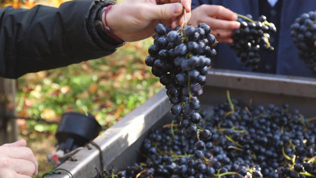 balsamic-vinegar-lambrusco-grape-varietal-620.jpg