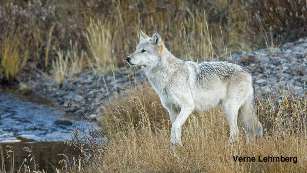 Nature up close: A wolf pack love story - CBS News