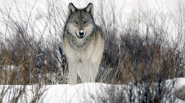 To Catch a Spy, Malta, The Wolves of Yellowstone