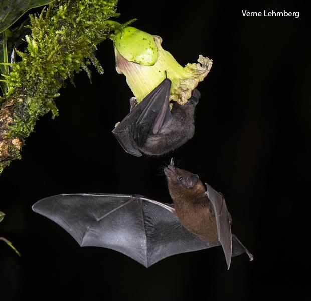 pallass-long-tongued-bat-and-orange-nectar-bat-verne-lehmberg-620-tall.jpg