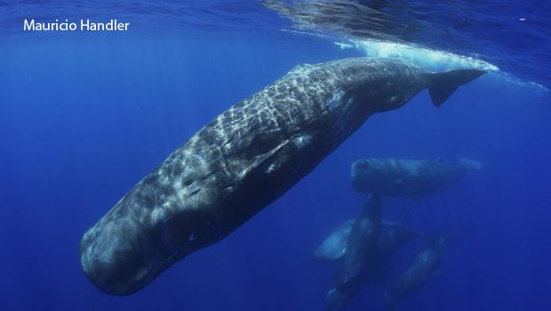 sperm-whale-preparing-to-dive-mauricio-handler-aquaterrafilms-7-620.jpg