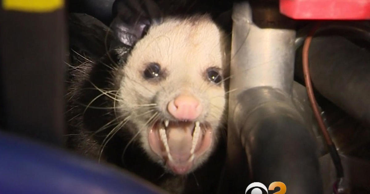 Possum was living in unused, $1 million taxpayer-funded bus - CBS News