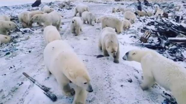 Emergency as polar bears invade Russian town