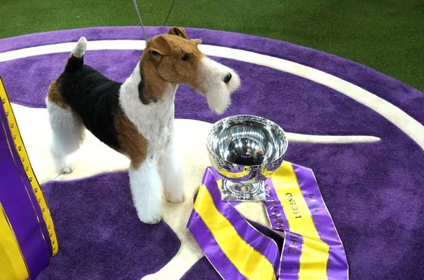 Westminster Dog Show 2020 Dates.Best In Show Westminster Kennel Club Dog Show 2019