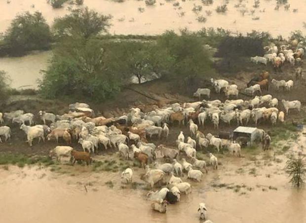 australia-floods-cows.jpg