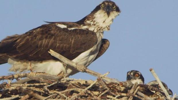 osprey-verne-lehmberg.jpg