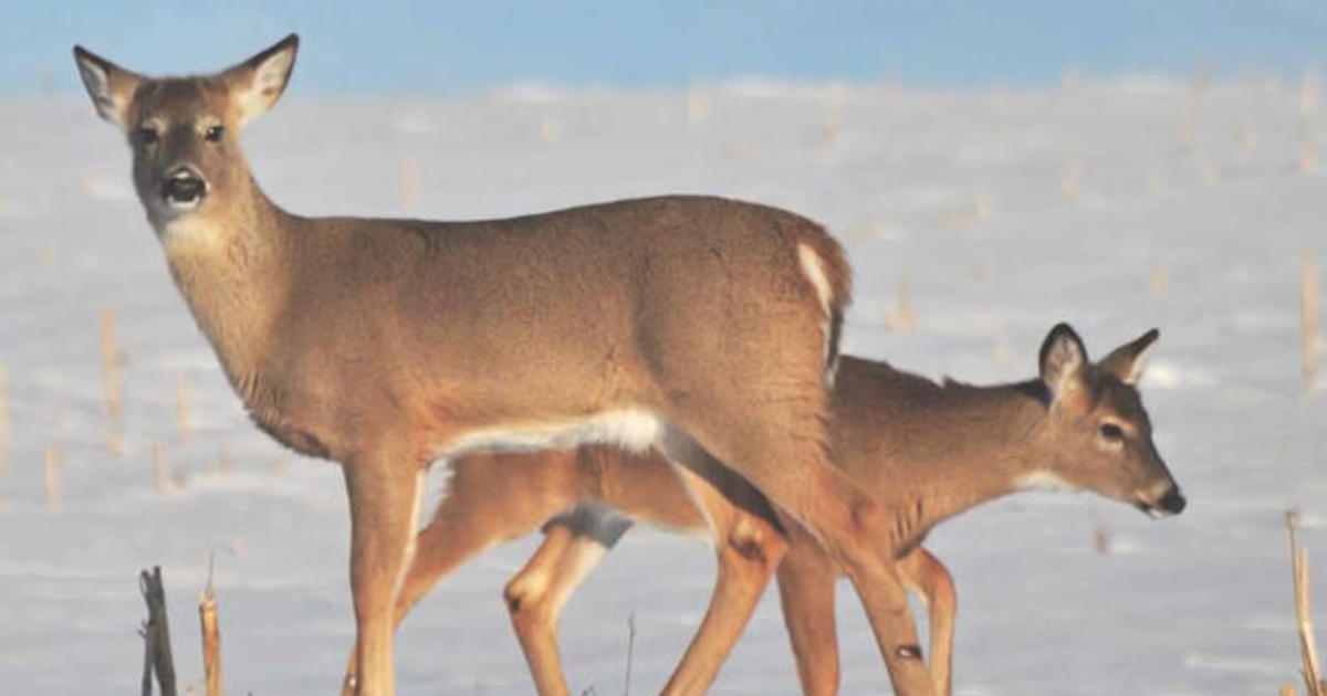 Zombie Deer Disease Spreads To Several States CBS News
