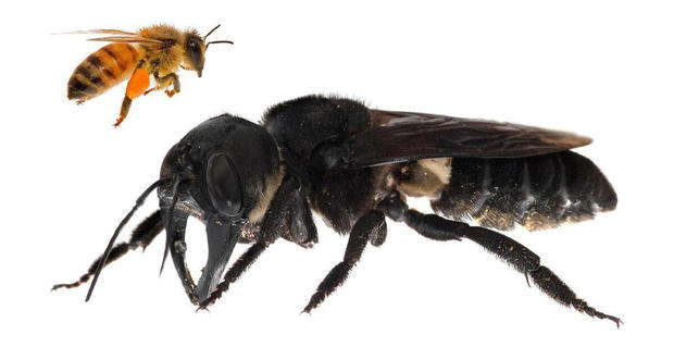 Wallace's Giant Bee (Megachile pluto), once thought extinct, has been discovered alive on island in Indonesia