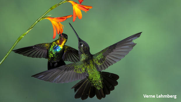 dueling-fiery-throated-hummingbirds-verne-lehmberg-620.jpg