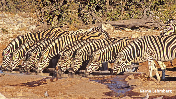 zebras-in-line-drinking-verne-lehmberg-620.jpg