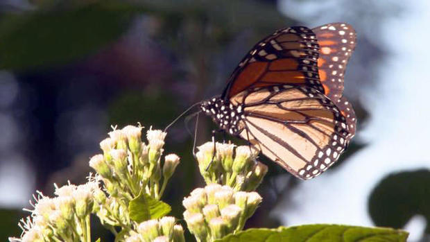 0329-ctm-butterflymigration-dokoupil-1816825-640x360.jpg