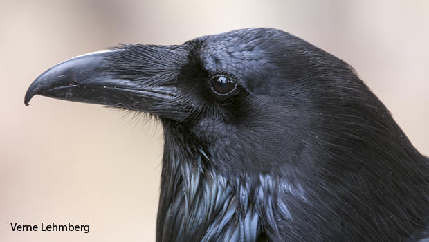 raven-head-yellowstone-picnic-area-verne-lehmberg-620.jpg