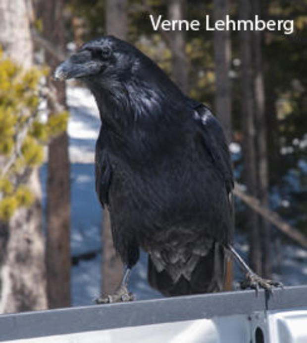 raven-on-back-of-truck-verne-lehmberg-244.jpg