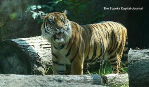 Tiger attacks zookeeper in Kansas