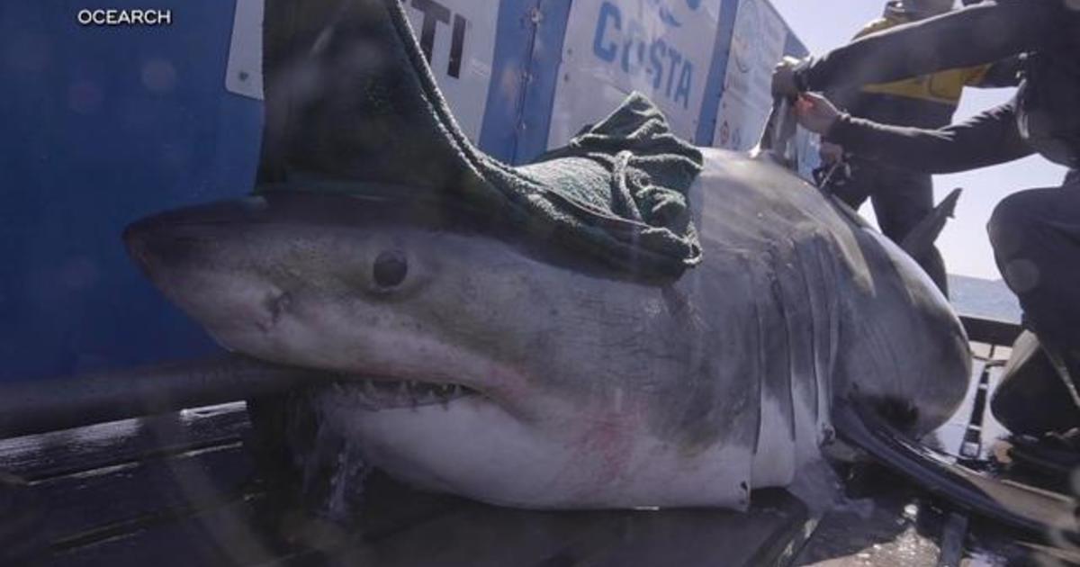 Great white sharks tracked off the Carolina coast - CBS News