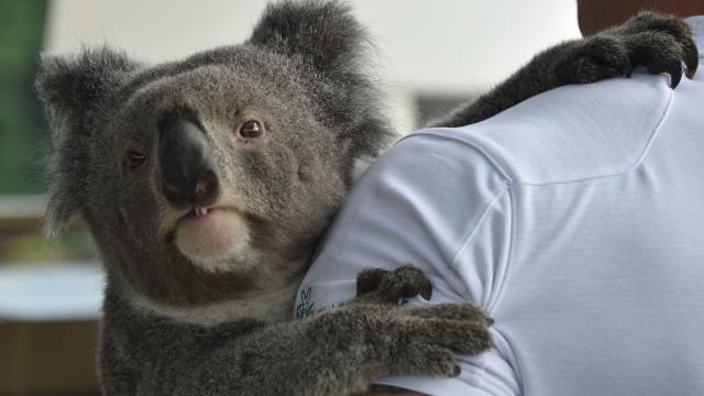 AUSTRALIA-SCIENCE-ANIMAL-GENETICS-CONSERVATION-KOALA