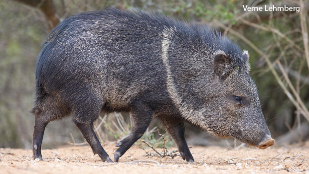 Nature up close: Our javelina scare