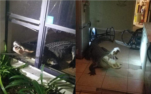 Alligator Busts Into Home and Causes a Scene