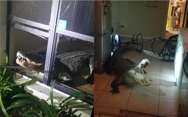 аллигатор ворвался в дом