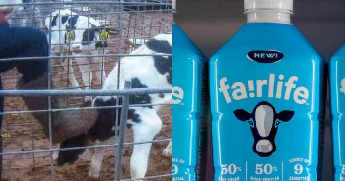 Fair Oaks Farms animal abuse: After video exposes abuse at Fair Oaks ...