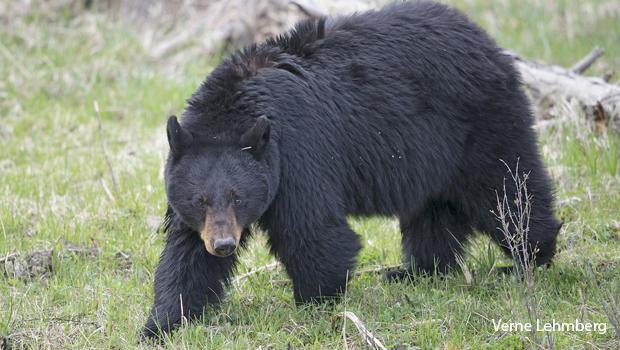a-female-black-bear-looking-up-verne-lehmberg-620.jpg