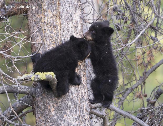 black-bear-cubs-in-tree-verne-lehmberg-620-tall.jpg