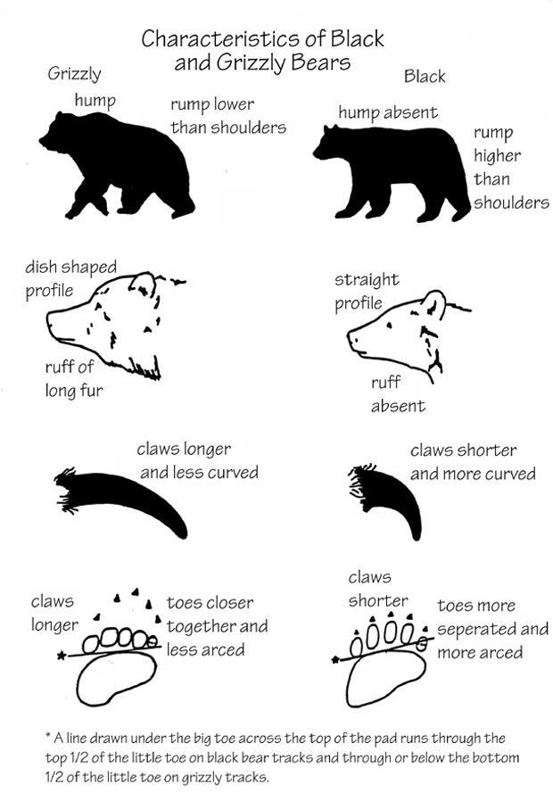 black-and-grizzly-bear-characteristics-620.jpg