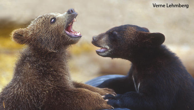 grizzly-and-black-bear-cubs-verne-lehmberg.jpg