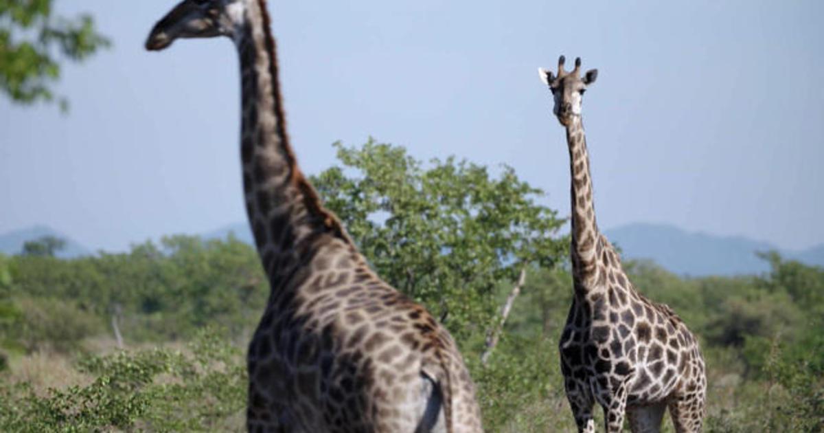 Trophy hunting: Killing or conservation?