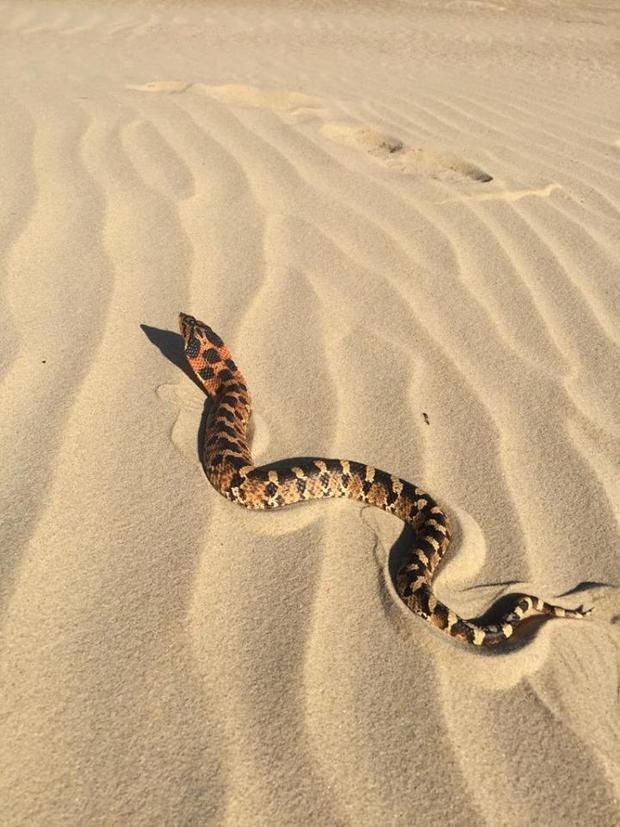 """The eastern hognose snake, which can vary in color, has earned the nickname """"puff adder"""" because of its tendency to """"puff up its head to look more like a cobra."""" (Credit: North Carolina State Parks and Recreation)"""