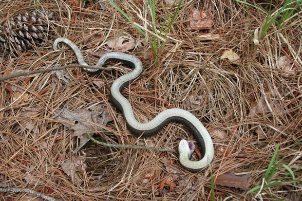 """The eastern hognose snake """"puts on quite a dramatic display to deter predators, including puffing up its head to look more like a cobra or pretending to be dead briefly,"""" North Carolina State Parks and Recreation tells CBS News. (Credit: North Carolina State Parks and Recreation)"""