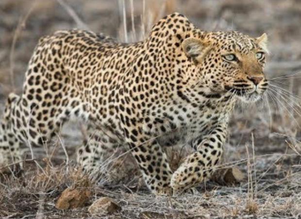leopard-in-africa-judy-lehmberg.jpg