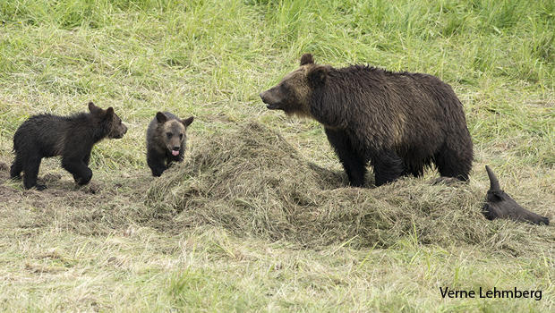 grizzly-bear-greenskeepers-620.jpg